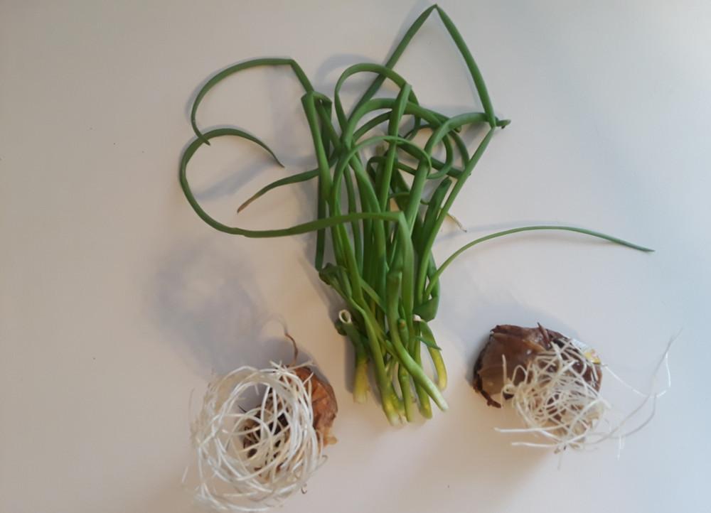 Grow-a-Windowsill-Garden-From-Your-Own-Kitchen-Scraps-Onion