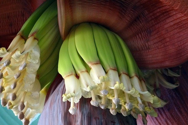 The-Tropical-Banana-Plant-Count-the-Many-Ways-to-Use-It-Banana-Blossom