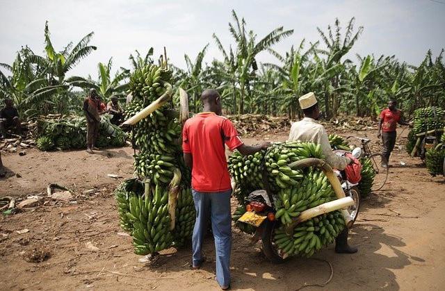 The-Tropical-Banana-Plant-Count-the-Many-Ways-to-Use-It-Banana-Plant